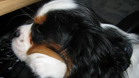 Mindestens fünf Hunde der Rasse Cavalier King Charles Spaniel wurden vergiftet. (Symbolbild)