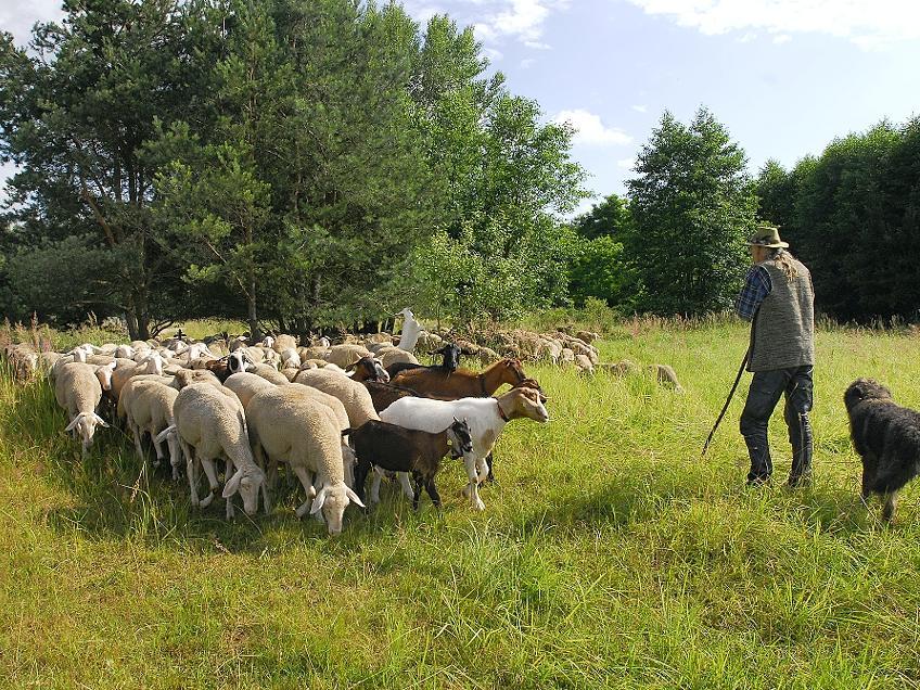 Bedrohte Idylle: Im Naturschutzgebiet Röthelheimpark in Erlangen weiden (wie hier im Sommer 2009) die Tiere des Erlanger Schäfers Heinrich Bernard.