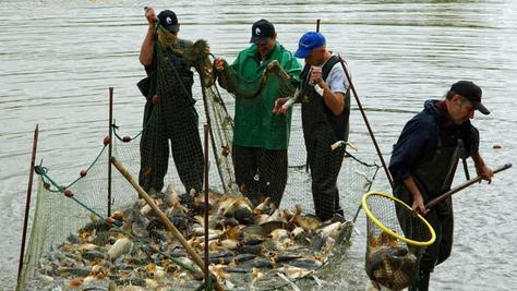 Abfischen: Reiche Beute gab es für die Karpfenfischer in der aktuellen Saison. Die Teichgenossenschaft Schwabach-Roth vermeldet ein gutes Jahr.