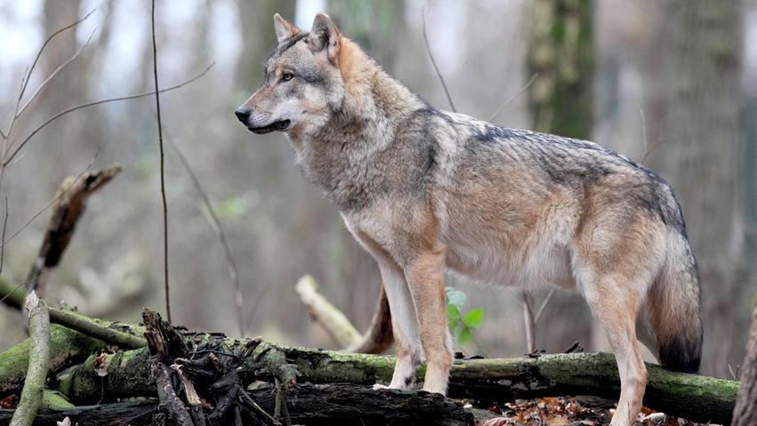Dieser Wolf sucht möglicherweise noch nach einem Partner - während sich in Bayern nachweislich zwei Pärchen gefunden haben. Wolfsexperte Ulrich Wotschikowsky glaubt fest an Wolfsnachwuchs im Mai diesen Jahres.