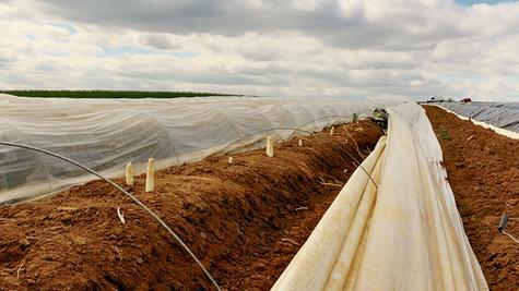 Sprießt schon wieder kräftig aus dem Boden: Spargelbauern in der Region (hier auf einem Feld bei Höttingen) stechen und verkaufen bereits wieder ihren Spargel. Dass es heuer schon so früh losgeht, liegt am warmen Jahresanfang.
