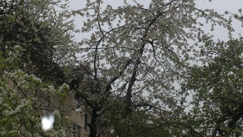 Die Kirschbäume stehen in voller Blüte. Nun aber ist der Winter noch einmal zurückgekehrt und sorgt für Sorgenfalten auf der Stirn der Obstbauern.