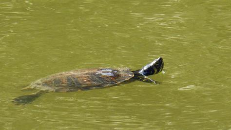 Fühlt sich in ihrer neuen Heimat offenbar wohl: Die Gelbbauch-Schmuckschildkröte pflügt seit einigen Tagen durchs Wasser des Seeweihers. Ursprünglich kommt sie aus Nordamerika, ist inzwischen aber auch in etlichen Gewässern der Region heimisch. Die Tiere werden oft als Haustier gekauft und ausgesetzt, wenn die Halter nicht mehr zurechtkommen.