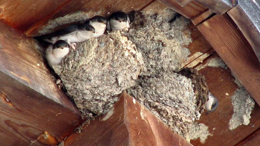 Ein Nest mit jungen Mehlschwalben: Gebäudeabrisse nehmen den Vögeln die Kinderstube, sie stehen auf der Liste gefährdeter Arten.