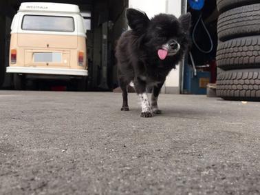 SamSon Momo, der Hund des VW-Doktors Karl Wenker