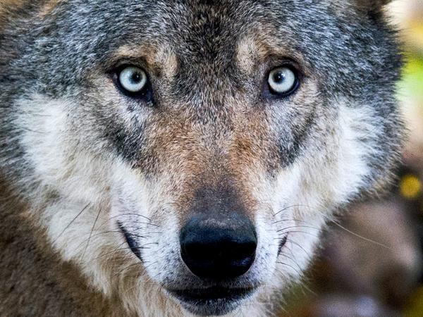 SamSon: Wölfe