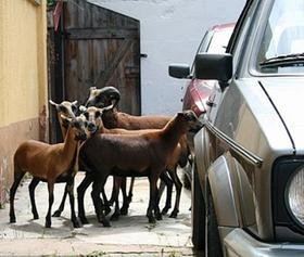 Endstation Autowerkstatt: Das Ziegen-Quintett konnte im Hof des Betriebes eingesperrt werden. Seit Freitagabend waren die Tiere unterwegs.